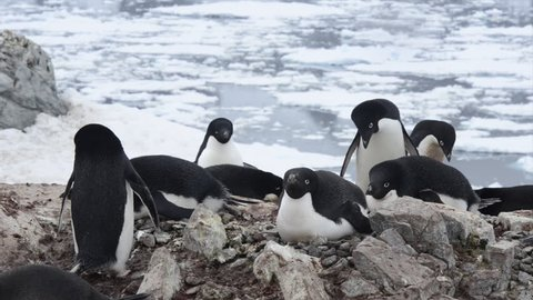 Adelie Penguin the nest