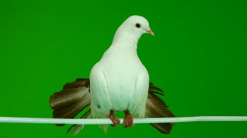 male white dove peacock cleans feathers isolated on a green screen as symbol of peace