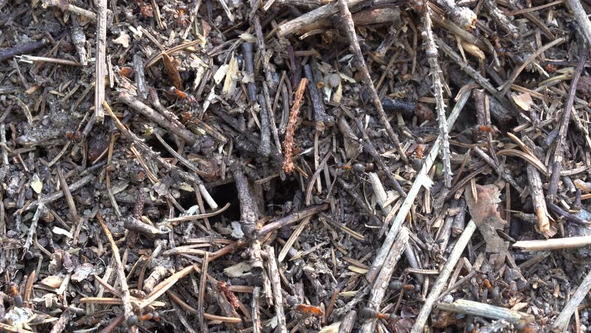 Big anthill in the woods. Big anthill with colony of ants in summer forest. Ants on the ant hill in the woods closeup, macro