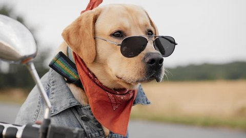 Portrait of a biker Labrador dog wearing sunglasses posing on camera while sitting on a motorcycle