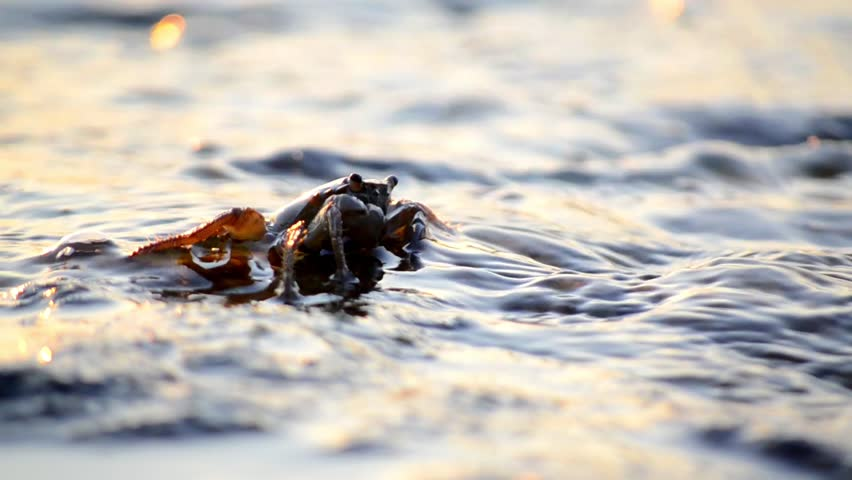Crab eating food on rocky beach on the sea at sunset. Crab - Marbled rock crab, Pachygrapsus marmoratus. Crab in the ocean
