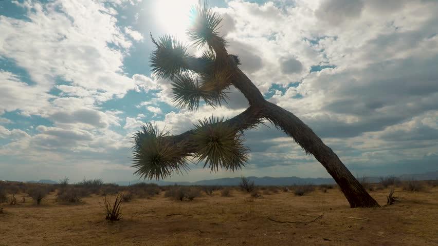 Sideways Joshua Tree shaking during a summer sandstorm, Timelapse ZOOM IN