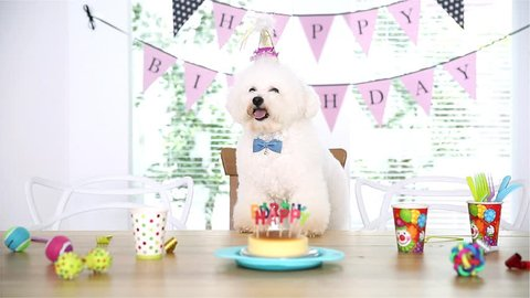 Bichon Frise dog Having Birthday Party