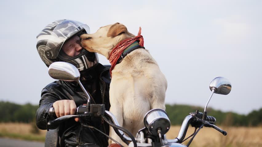 Labrador licks a guy's face in a motorcycle helmet.
