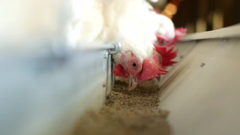 Poultry farm for breeding chickens and eggs, chickens pecking feed, close-up, ranch hens, hen