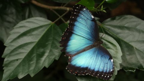 A blue morpho butterfly is sitting on a leaf, slightly moving its wings, and then suddenly flutters away.