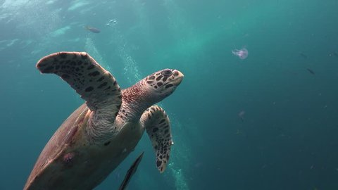 The hawksbill sea turtle (Eretmochelys imbricata) eats small  jelly fish (Pelagia noctiluca)