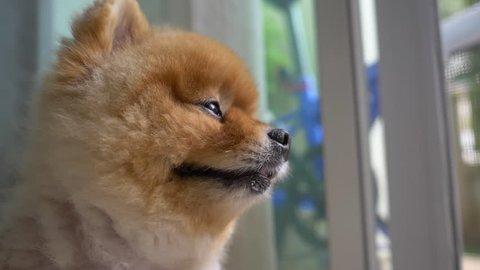 slow motion scene, pomeranian dog cute pet looking through door waiting owner