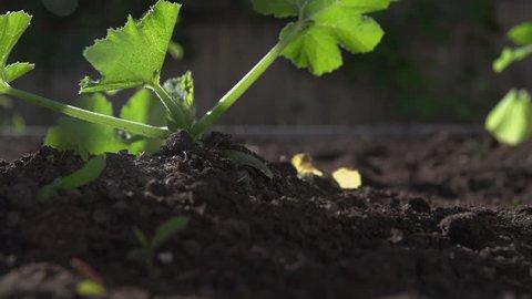 Gardener Transplanting Celeriac Seedlings Into Stock Footage