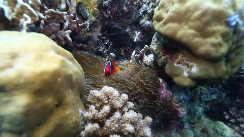 Clown fish in vibrant coral reef, Southern Leyte, the Philippines