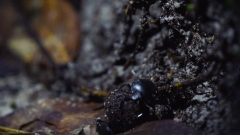 Dung Beetle Pair Mating Rolling Ball of Feces. Female Burrows Lays Eggs in Poop. Small Macro Insects on Jungle Floor Rainforest.