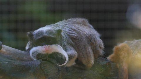 Emperor tamarin (Saguinus imperator) in French Guiana zoo day time.