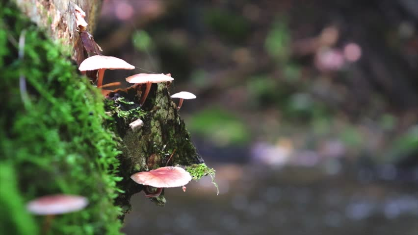 Mushrooms growing on a log next to a stream in the fall in New England, cute little mushrooms growing along side a river bank. small brown mushrooms growing out of a tree. rushing water after a storm.
