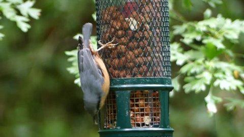 Nuthatch on feeder, Sitta europaea