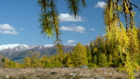 Video of North Chuiskiy Ridge with Larix branches on foreground and mountains with larch forest on background. Autumn, trees are in fall yellow colors. Altai, Siberia, Russia