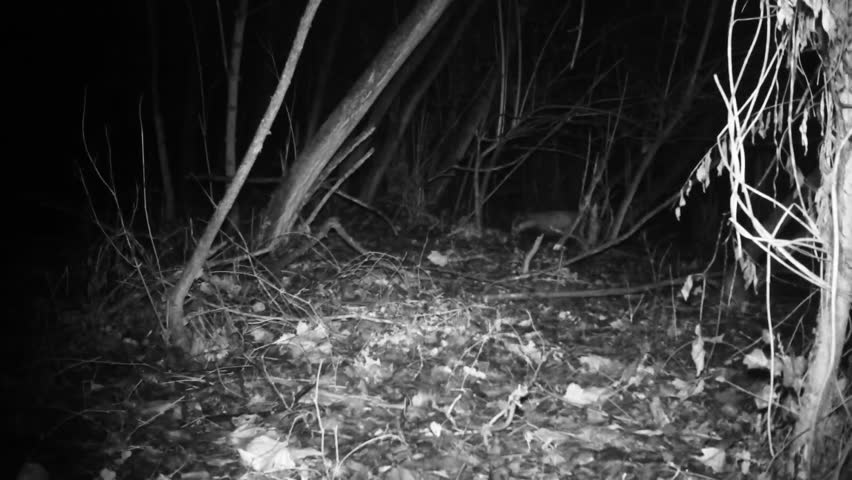 European badger (Meles meles, Eurasian badger) of Mustelidae family in a winter night in a wood. Nature and Wildlife FullHD Video.