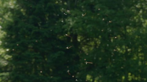 MS Swarm of mosquitoes flying above lake / Fuschlsee, Salzburg, Austria