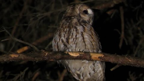 Tawny owl or brown owl  singing bird in night forest  strix aluco