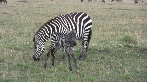 A baby zebra makes the first step of faith.