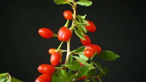 red ripe goji berry on a branch isolated on a black