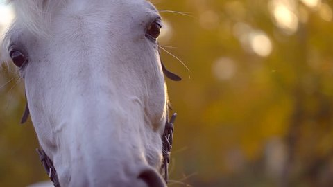 Horse Sun rays Close-Up at sunset. The white horse with harness and bridle made of leather. Beautiful horse looking at the camera. The eyes, mane, muzzle, of the horse. Sun lens flare. slow-motion