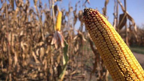 Ripe ear of corn on plant stalk ready for harvest