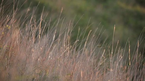 It is a close-up image of a reed. A reed shaking in the wind.