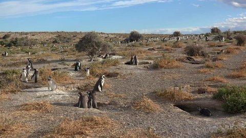Nesting colony of Magellanic Penguins (Spheniscus magellanicus) in the breeding season at Punta Tombo coastline. Chubut, Argentina