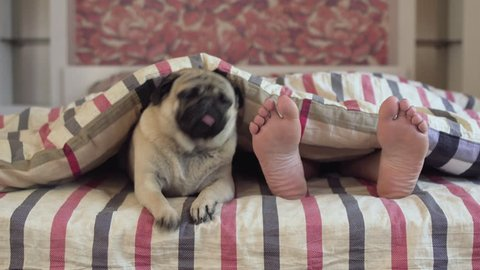 Cute pug dog in bed. Owner woman feed laying under the covers with enjoy sleepy pug beside her. Morning awake.  Bedroom. Under blanket. Relax. Resting. Sweet dreams. Only owners feet. Close together