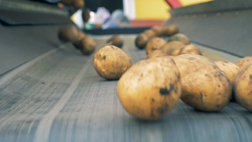 Potato tubers falling onto and from the transporter. Agriculture farming concept. | Shutterstock HD Video #1018071919