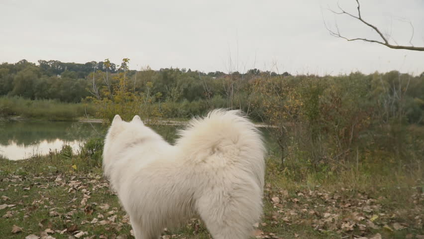 Samoyed dog in park | Shutterstock HD Video #1018080829