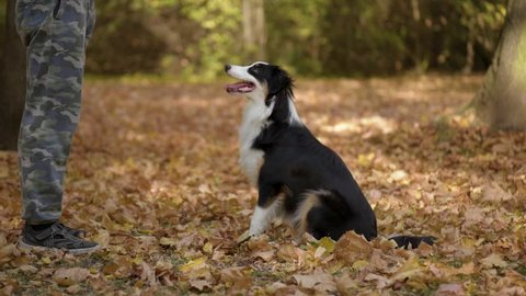 Man training a happy dog in the autumn park. Beautiful Australian shepherd puppy 10 months old enjoy playing in a park an autumn sunny day.