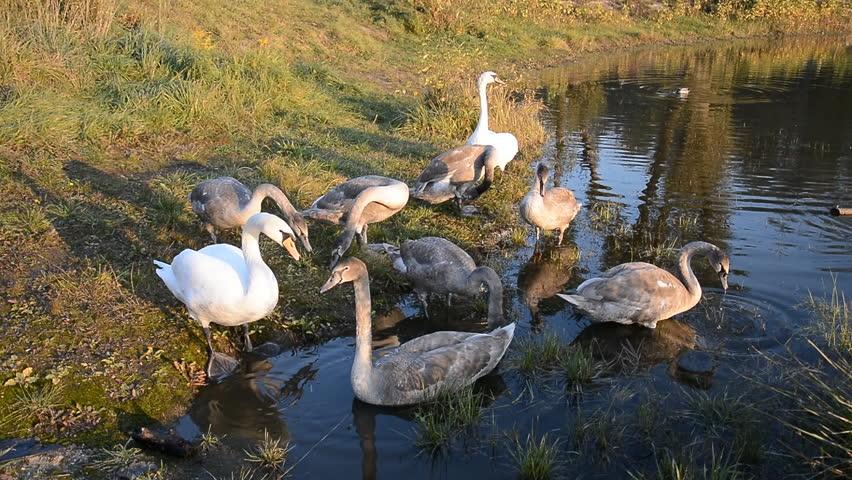 Beautiful Swan bird in the pond, animal wildlife | Shutterstock HD Video #1018163509