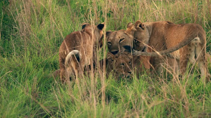 Medium and wide-angle shot of lioness and cubs in Uganda, Africa | Shutterstock HD Video #1018164499