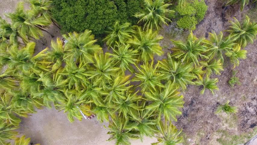 Coconutes trees in Awala Yalimapo village Guiana by drone slow flight