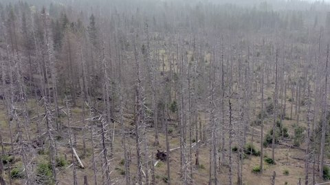 Forest Destroyed From Bark Beetle Infestation Causing Deforestation Seen From an Aerial View