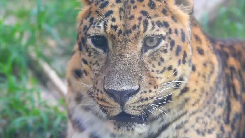 One eye black tiger or leopard or cheetah living in green grassland #1018329019