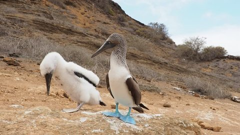 Blue-footed boobies (Sula nebouxii), juvenile and adult, Punta Pitt, San Cristobal or Chatham Island, Galapagos, Ecuador