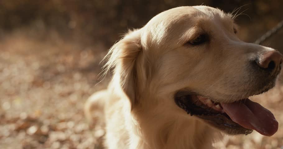 Slowmotion detail of golden retriever sniffing around | Shutterstock HD Video #1018628479