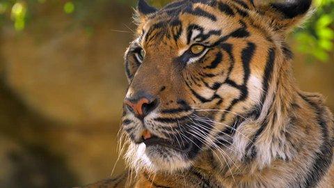 Sumatran tiger (Panthera tigris sondaica) relaxing