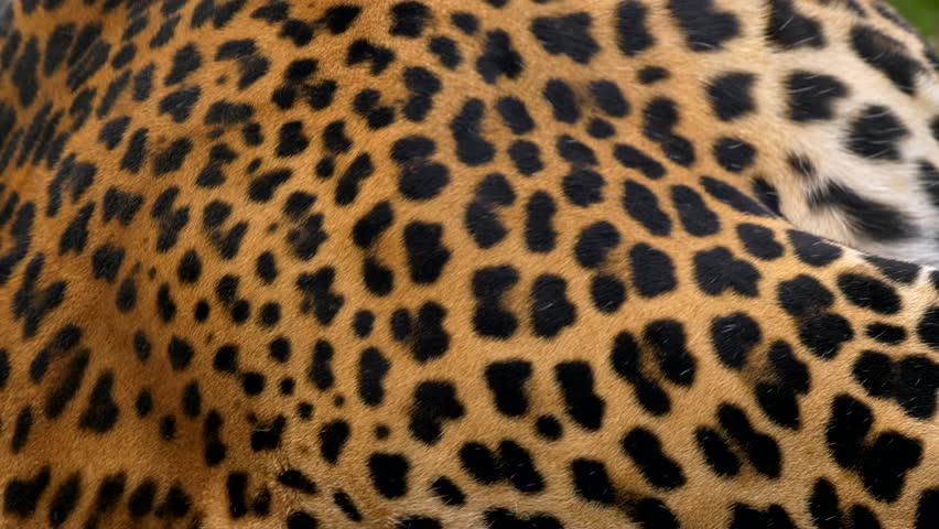 Javan leopard (Panthera pardus melas) fur | Shutterstock HD Video #1018816759
