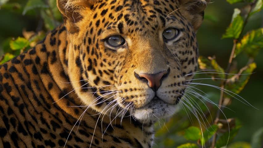 Javan leopard (Panthera pardus melas) portrait #1018816789