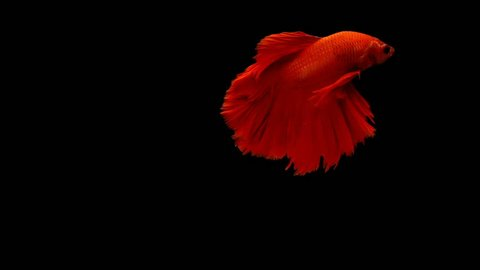 Super slow motion of vibrant Siamese fighting fish (Betta splendens), well known name is Plakat Thai, Betta is a species in the gourami family, which is a popular fish in the aquarium trade