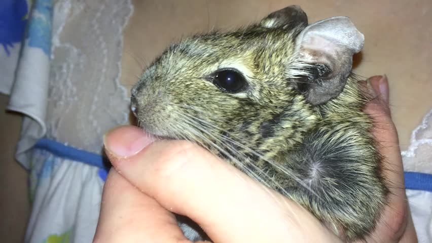 Rodent  degu in female hands, close up. Home room