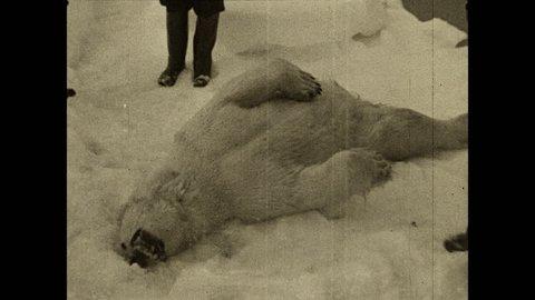 1930s: Men surrounding dead polar bear on ice, begin to skin it. Men hold up skin from dead polar bear.
