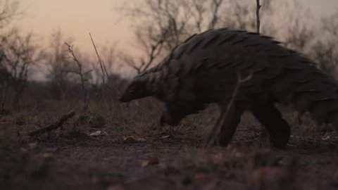 Ground pangolin walking past camera sunset