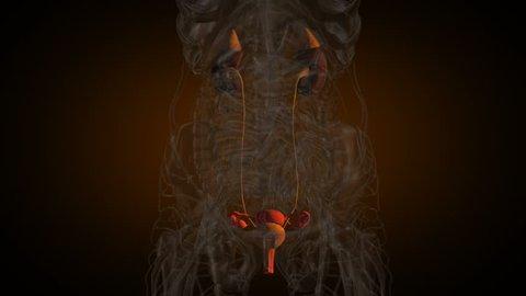 Woman urogenital system x-ray vie in loop