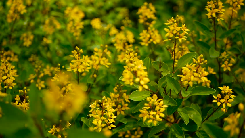 Spring Field Of Small Yellow Stock Footage Video 100 Royalty Free 1019062969 Shutterstock