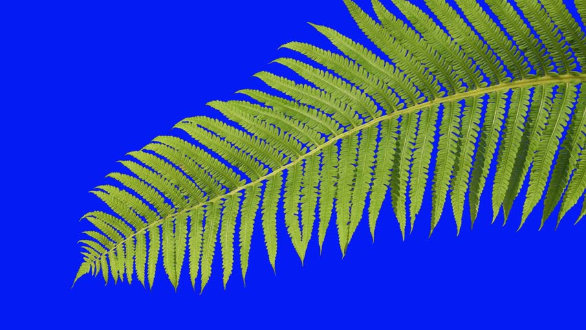 Green branch of a fern on isolated background blue screen