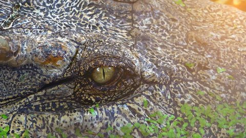Close up eye crocodile or alligator open and close or blink eye, dangerous animal in river or pond, crocodile is predator reptile animal wildlife, big eye on head of it,